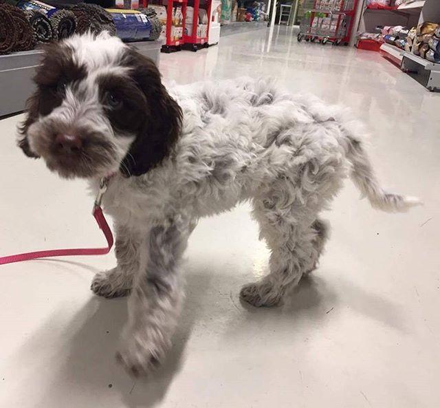 Hera på 9 uker er en australsk cobberdog 🐶 Hun fikk seg shampoo i dag 😄 #zooexpressen_besøk #dyrebutikk #bodø #bodøby #hund #hundibodø #dog #dogstagram #dogsofinstagram #puppy #puppylove #puppyeyes #puppiesofinstagram #pupstagram #cute #cutepuppy #puppyadventures #dogadventures #pupstagram #cute #cutepuppy #puppyadventures #dogadventures #weeklyfluff #fluffy