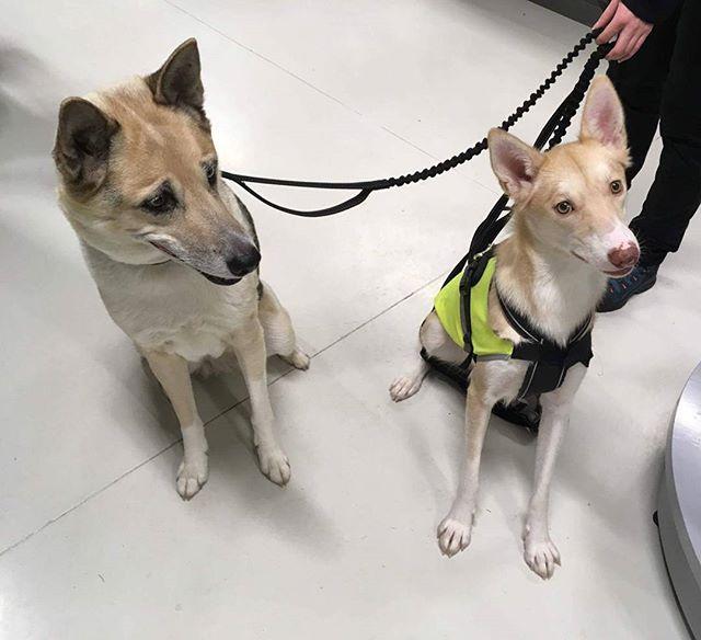 Poti (11 år) og Nito (11 mnd) er to husky'er som var innom og fikk seg Brit care fôr og omega 3 olje 😄 #zooexpressen_besøk #dyrebutikk #bodø #bodøby #hund #hundibodø #dog #dogstagram #dogsofinstagram #puppy #puppylove #puppyeyes #puppiesofinstagram #pupstagram #cute #cutepuppy #puppyadventures #dogadventures #weeklyfluff #fluffy #husky