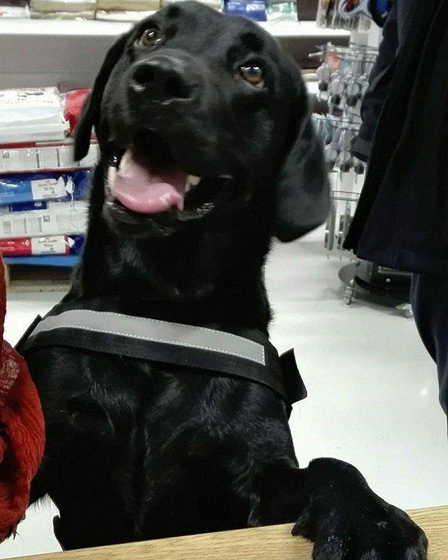 Oliver på 3 1/2 år er en Jaktlabrador 🐶 Han fikk kloklipp i dag 😀 #zooexpressen_besøk #dyrebutikk #bodø #bodøby #hund #hundibodø #dog #dogstagram #dogsofinstagram #puppy #puppylove #puppyeyes #puppiesofinstagram #pupstagram #cute #cutepuppy #puppyadventures #dogadventures #weeklyfluff #fluffy #jaktlabrador #labrador
