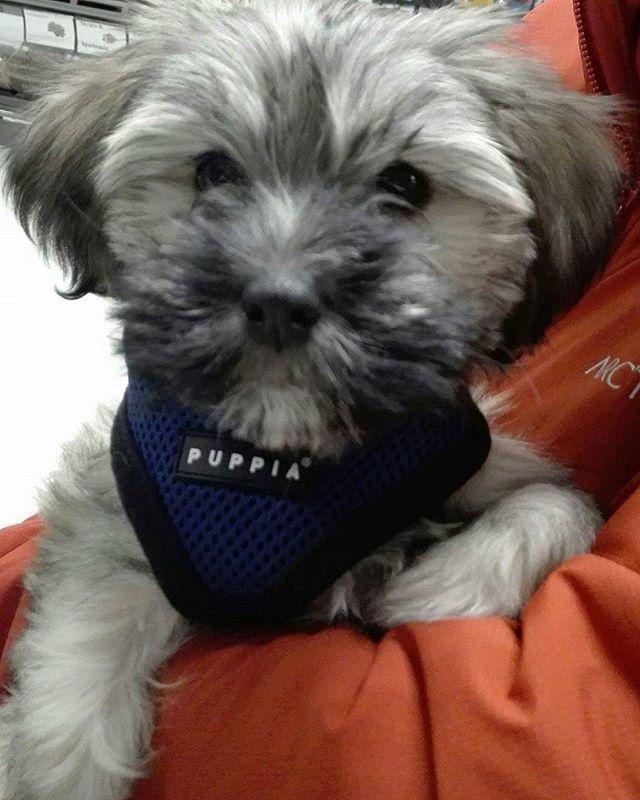 Tassen på 10 uker er en Bichon Havanais 🐶 Han fikk seg kloklipp, godis og tyggebein i dag 😀 #zooexpressen_besøk #dyrebutikk #bodø #bodøby #hund #hundibodø #dog #dogstagram #dogsofinstagram #puppy #puppylove #puppyeyes #puppiesofinstagram #pupstagram #cute #cutepuppy #puppyadventures #dogadventures #weeklyfluff #fluffy #bichonhavanais