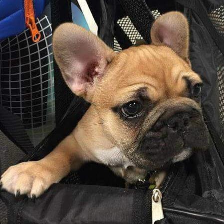 Rocky på 11 uker er en fransk bulldog 🐶 Han fikk seg godis i dag 😀 #zooexpressen_besøk #dyrebutikk #bodø #bodøby #hund #hundibodø #dog #dogstagram #dogsofinstagram #puppy #puppylove #puppyeyes #puppiesofinstagram #pupstagram #cute #cutepuppy #puppyadventures #dogadventures #weeklyfluff #fluffy #franskbulldog #frenchbulldog