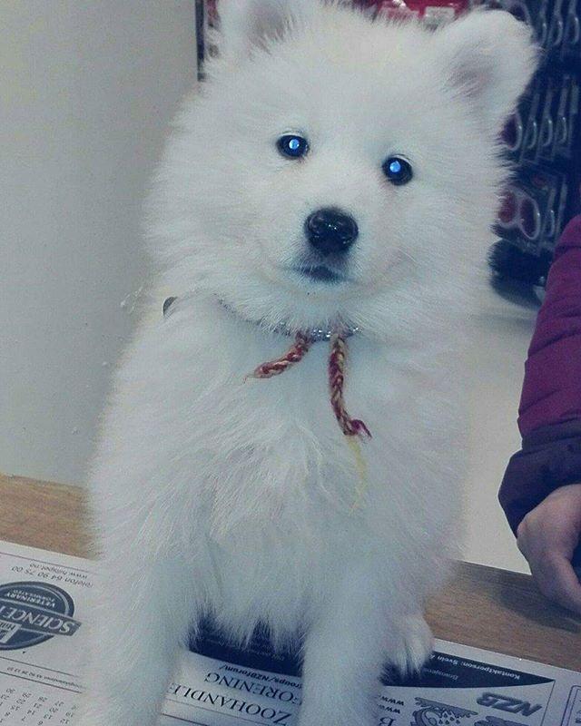Luna på 8 uka er en Samojed 🐶 Ho fikk seg sauen shaun leke og navne-tag i dag😊 #zooexpressen_besøk #dyrebutikk #bodø #bodøby #hund #hundibodø #dog #dogstagram #dogsofinstagram #puppy #puppylove #puppyeyes #puppiesofinstagram #pupstagram #cute #cutepuppy #puppyadventures #dogadventures #weeklyfluff #fluffy #samojed