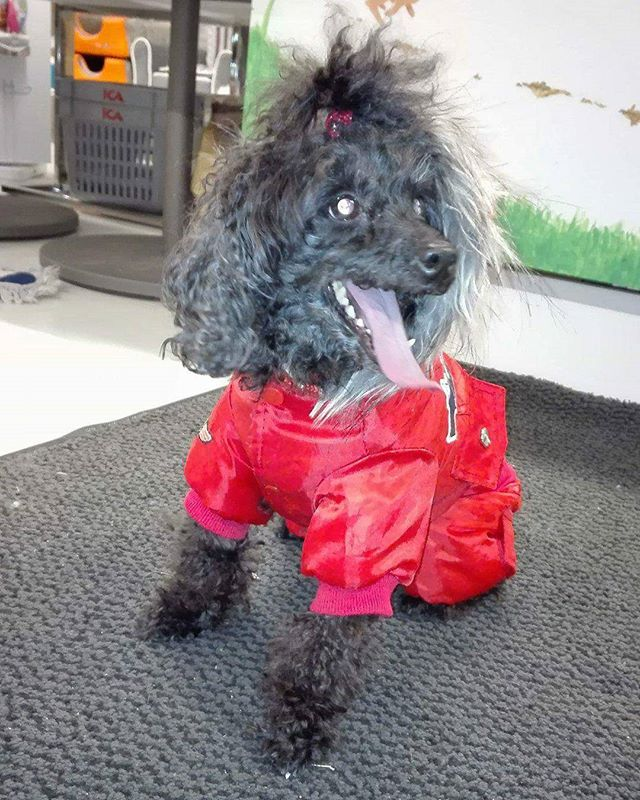 Biffi på 9 år er en toy puddel 🐶 Hun fikk seg kloklipp i dag 😀 #zooexpressen_besøk #dyrebutikk #bodø #bodøby #hund #hundibodø #dog #dogstagram #dogsofinstagram #puppy #puppylove #puppyeyes #puppiesofinstagram #pupstagram #cute #cutepuppy #puppyadventures #dogadventures #weeklyfluff #fluffy #toypoodle