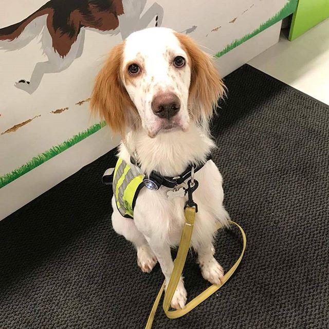 Faust er en Engelsk setter på 8mnd 🐶 han fikk seg vom, tørket strupe, lamme ører og oksemuskler i dag 😊 #zooexpressen_besøk #dyrebutikk #bodø #bodøby #hund #hundibodø #dog #dogstagram #dogsofinstagram #puppy #puppylove #puppyeyes #puppiesofinstagram #pupstagram #cute #cutepuppy #puppyadventures #dogadventures #weeklyfluff #fluffy #engelsksetter #englishsetter