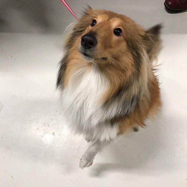 Lady på snart 9 mnd. er en Shetland sheepdog🐶 hun fikk seg en kloklipp i dag 😊 #zooexpressen_besøk #dyrebutikk #bodø #bodøby #hund #hundibodø #dog #dogstagram #dogsofinstagram #puppy #puppylove #puppyeyes #puppiesofinstagram #pupstagram #cute #cutepuppy #puppyadventures #dogadventures #weeklyfluff #fluffy #shetlandsheepdog #sheltie