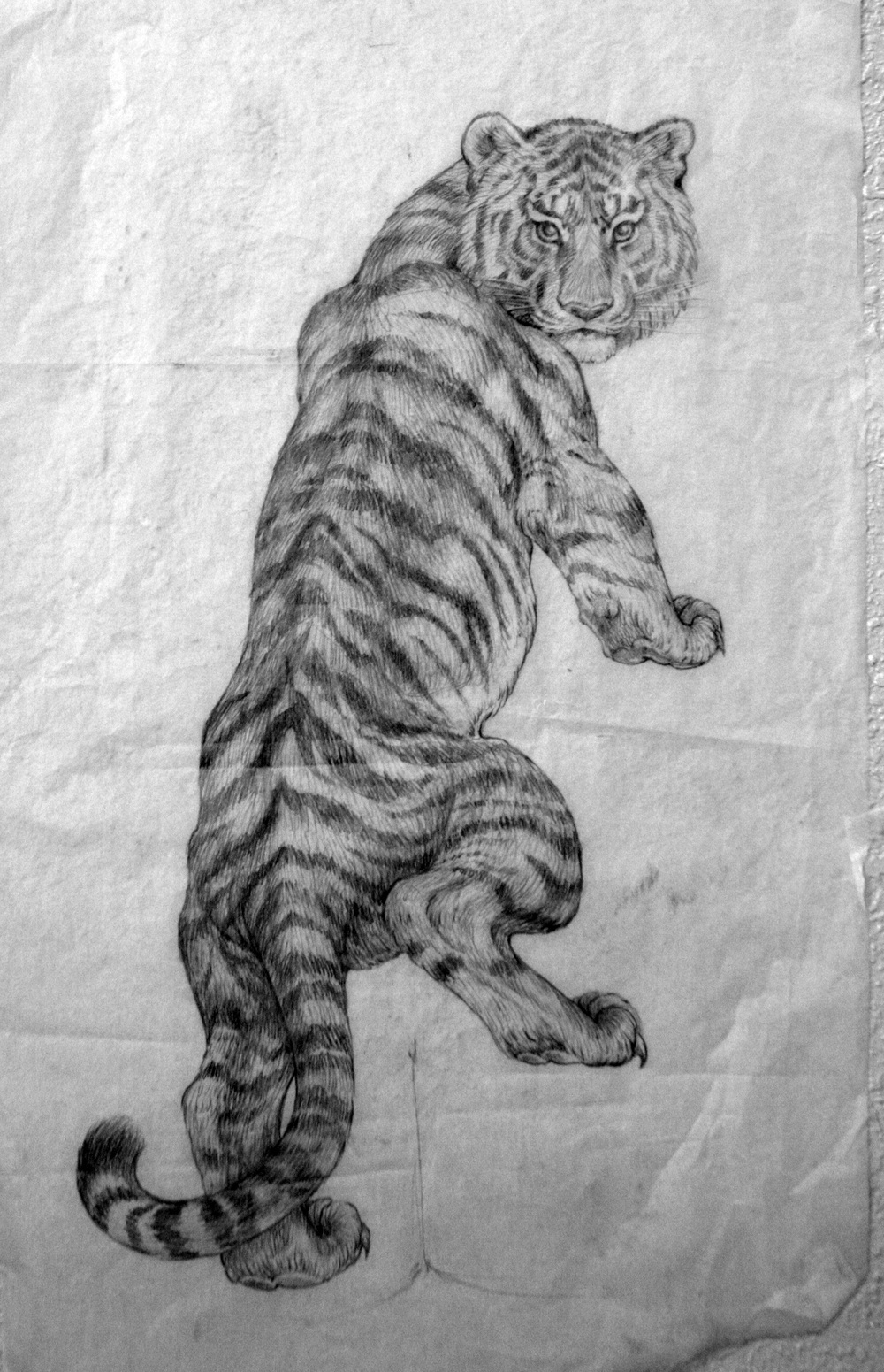 Tiger study.  2006 - pencil on paper