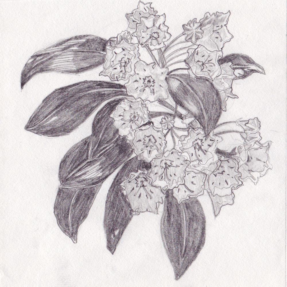 Original pencil sketch for the Mountain Laurel print. Graphite on standard sketchbook paper.