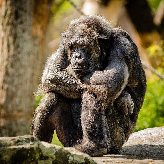 What do you think is on his mind? #gorilla #primate #nature #think #whysoserious