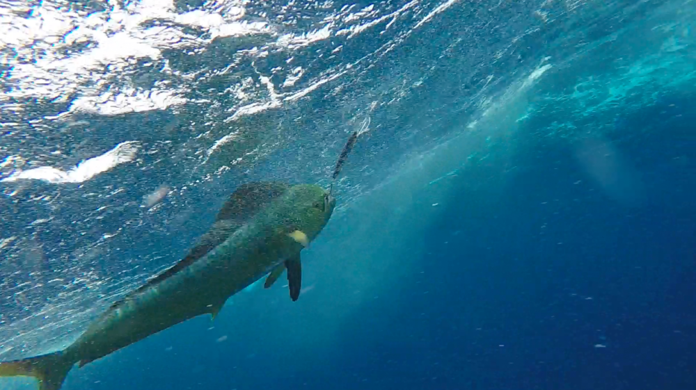 The Mahi Mahi with a Rapala lure hooked firmly in its gob. This shot is taken from underwater with the GoPro. Notice the wild psychedelic colours it sports before the colours fade in the next shot.