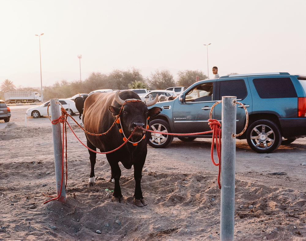 A bull waiting at the sand pit parking lot outside the bull fighting arena in Fujairah, 2017-