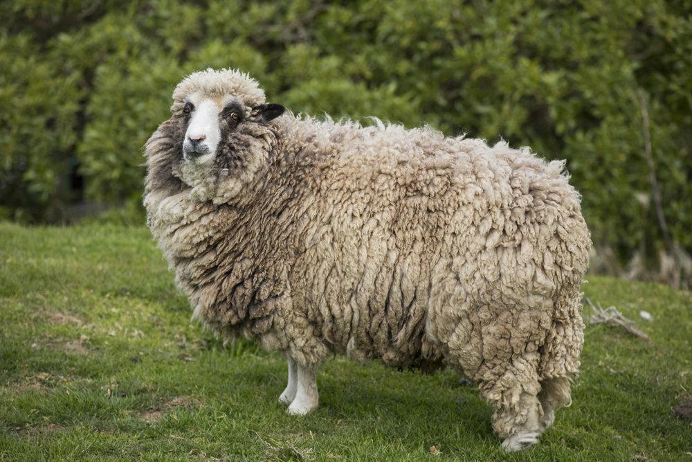 NZ SHEEP-1.jpg