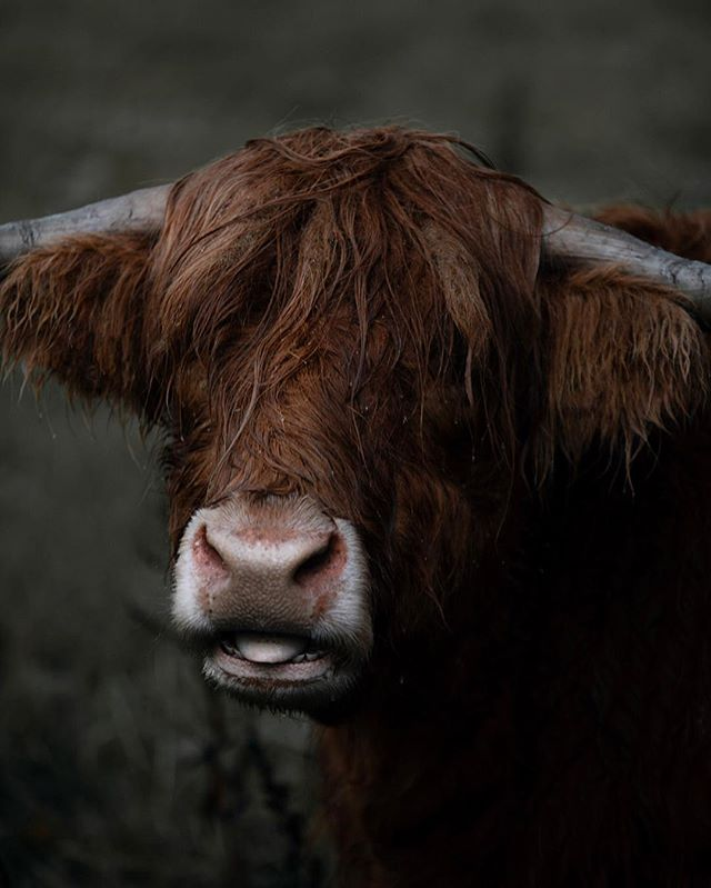 Conscious living... This year we've decided to pay more attention to our conscience. That little voice that keeps us in tune with the world around us. We're all part of one life.  Highlands cows in the Scottish Highlands.