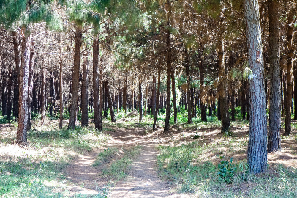"The ""Rongai"" Forest"