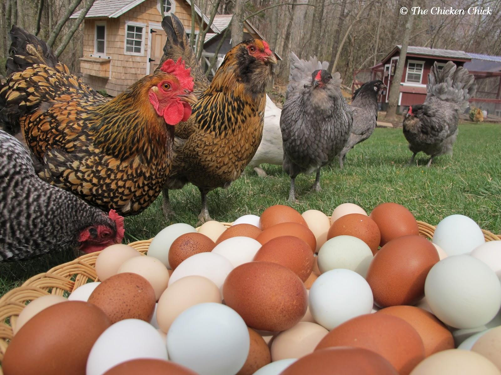 The Surprises And Rewards Of Raising Backyard Chickens