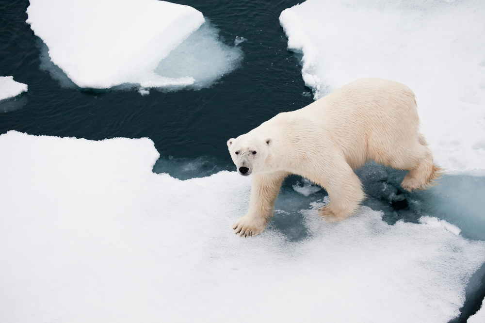 A polar bear on an ice floe in the Arctic Ocean