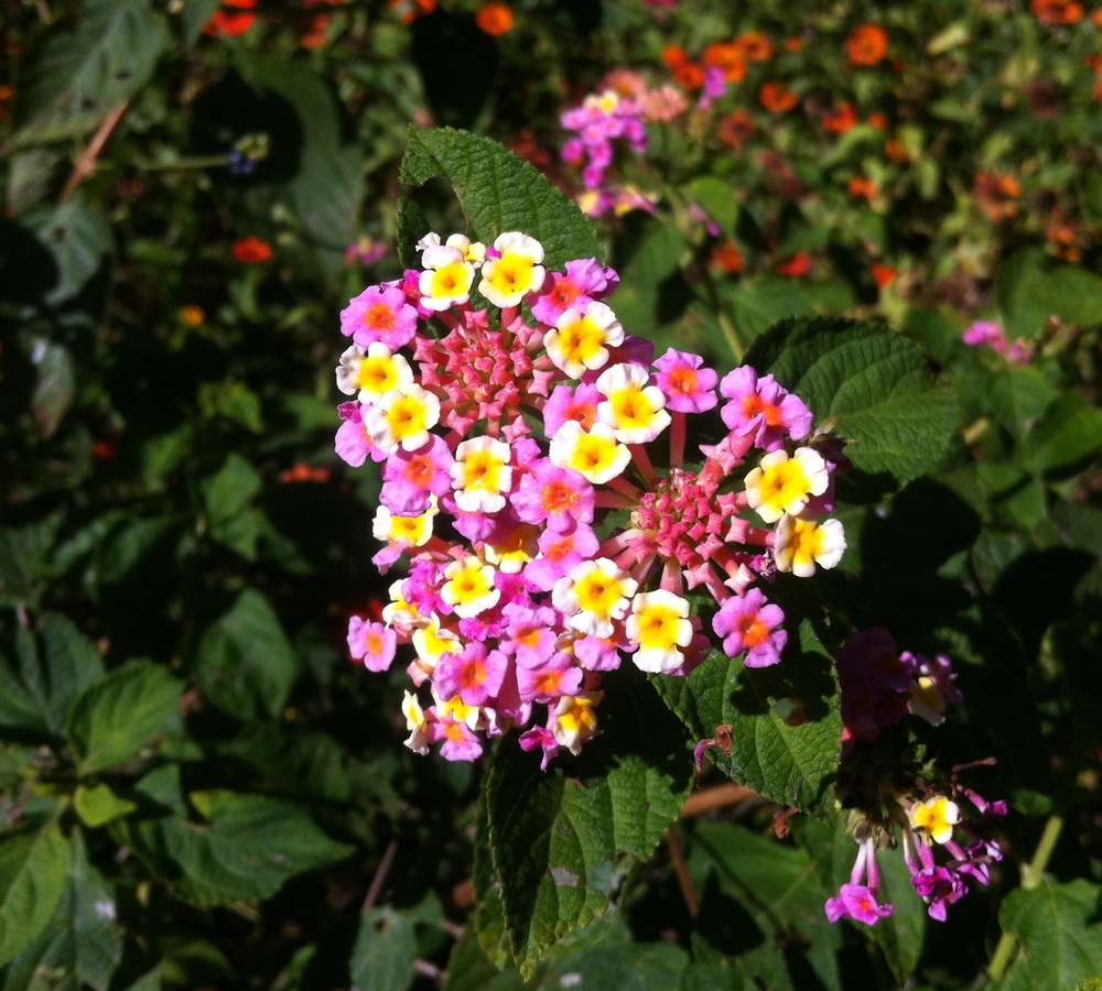 [image: The background is mostly out of focus and green with foliage. There are spots of blurry orange and pink of other flowers. In the center of the photo is a cluster of small pink and yellow flowers. They are blooming together to naturally form the shape of a heart.]