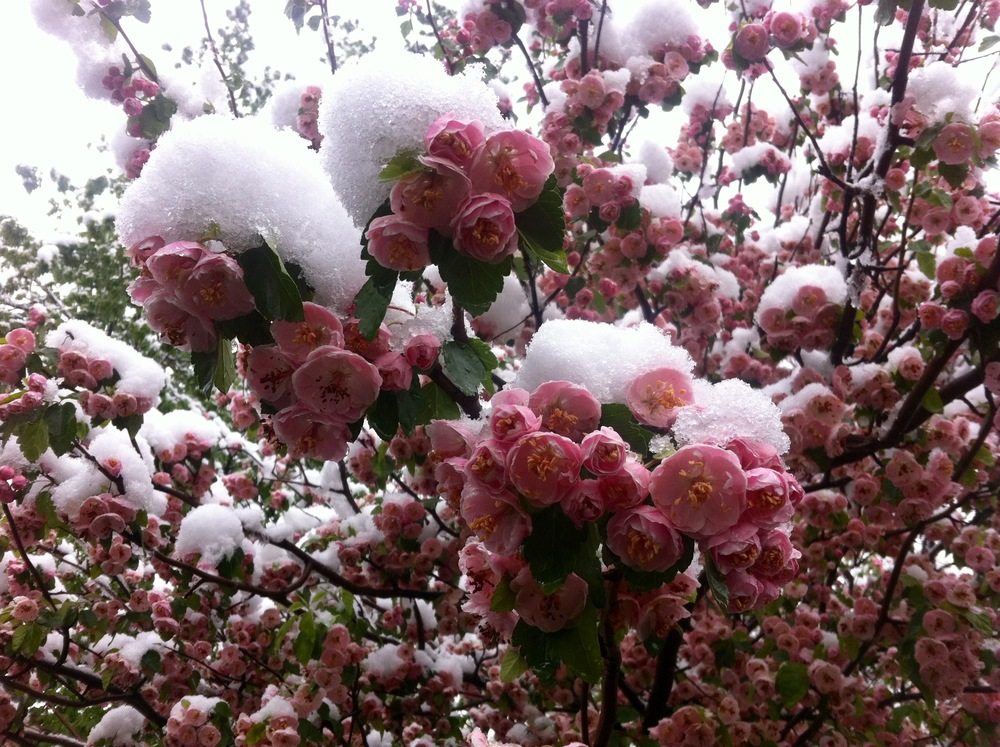 [image: Pink flowers are blooming on a tree. Each branch has mounds of snow built up after a spring snow storm. The flowers are still blooming.]