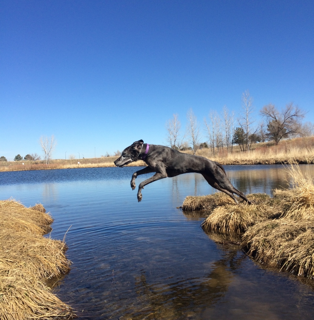 [image: It is autumn and the grass is brown and the trees do not have leaves. The sky and the pond are clear and blue. Lola, a merle (brown/grey) Great Dane is starting to jump from the right bank to the left bank. Her front feet are half-way across the gap, extended into the air. Her back legs are fully extended, feet still touching the ground.]