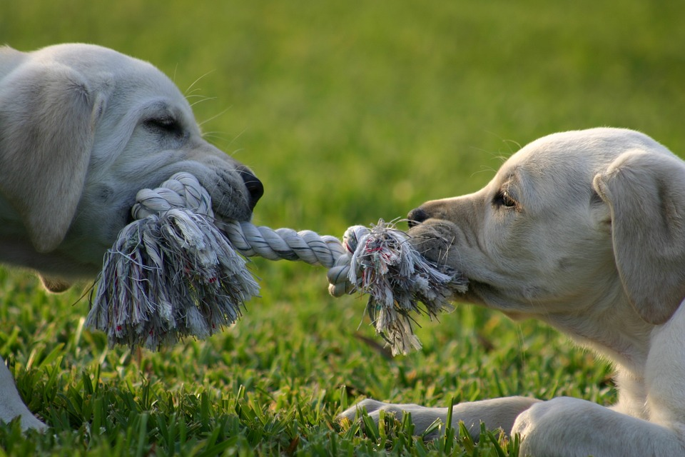[image: close-up picture of two yellow lab puppies playing tug-of-war on the grass.]