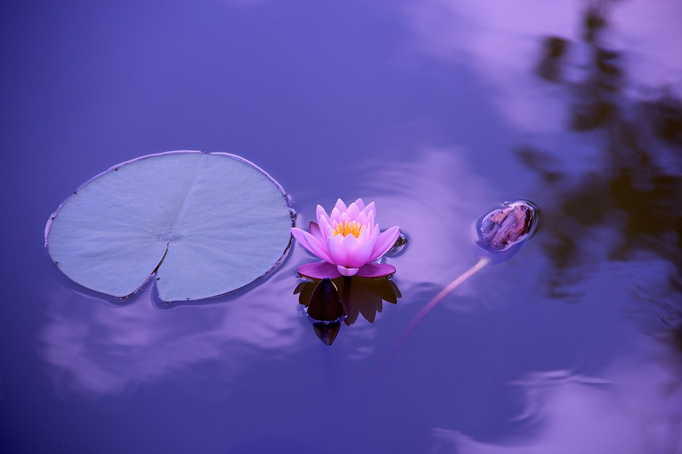 [image of a lily pad and a pink lotus flower floating on the surface of water.]