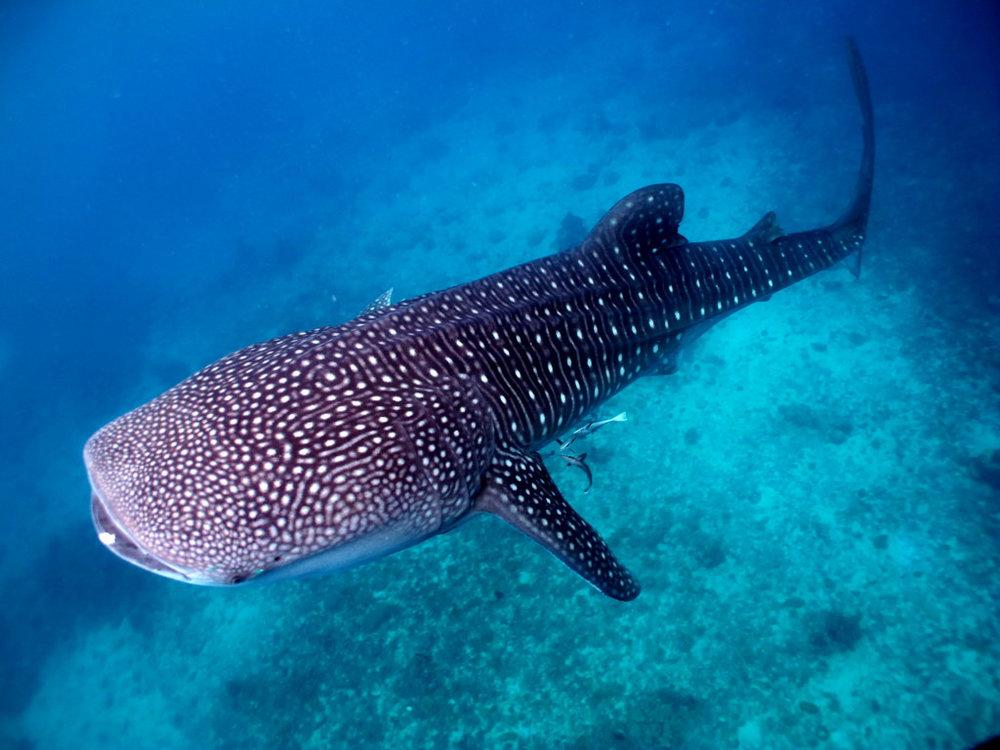 jsemtomas-philippines-whaleshark.jpg