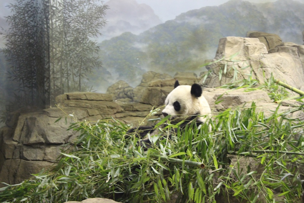 Mei Xiang could not be bothered with me during lunch time.