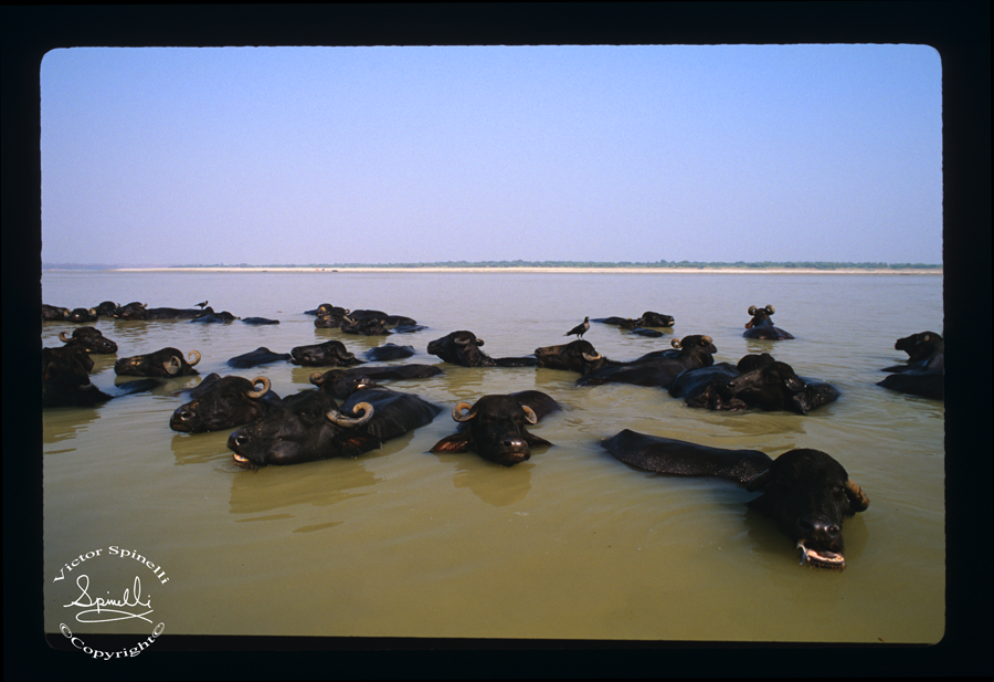 Water buffalo in the Ganges in India. Full frame E-6 Slide film. ©Victor Spinelli