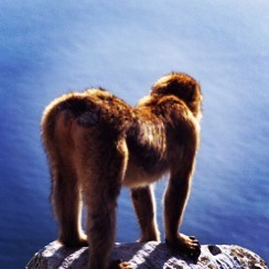 Monkey butt! On the Rock of Gibraltar overlooking the Mediterranean Sea. Europes only primates.  I took this in 2004 on E-6 Extachrome film.
