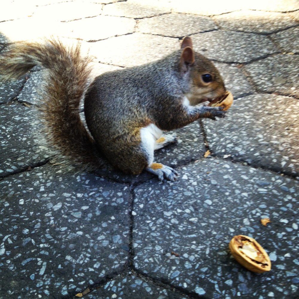 Fearless NYC squirell lovin' some walnuts.