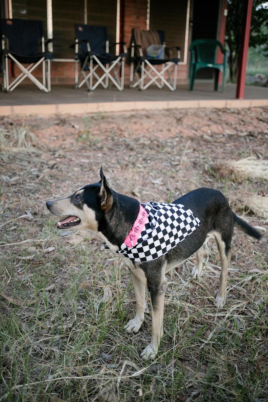 Eyebrows, camp dog at Djinkarr. Photo Hugo Sharp.jpg