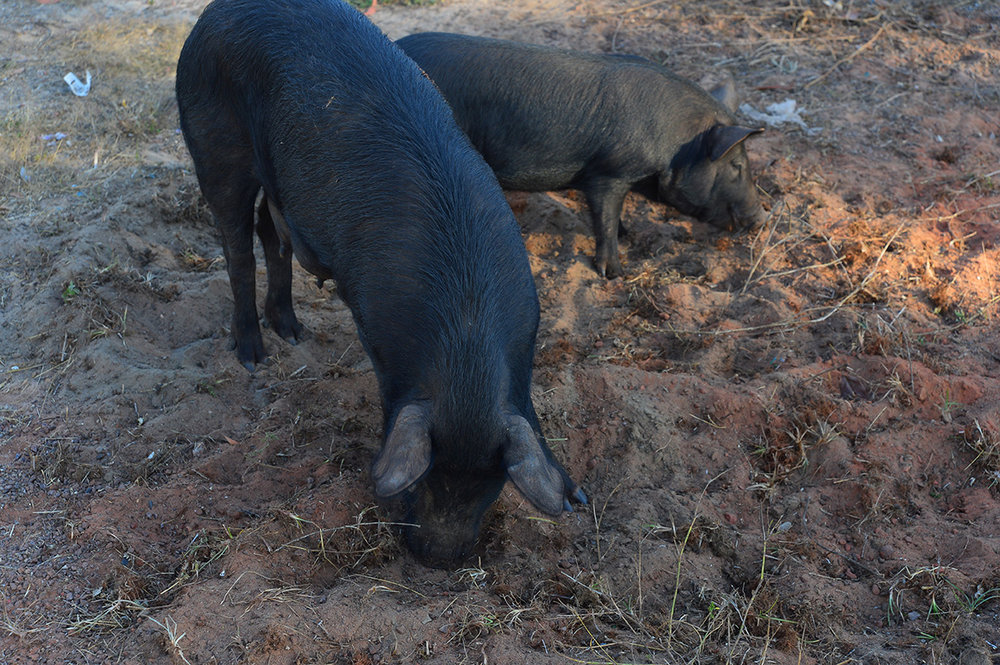 Feral pigs in Maningrida. Photo David Leece.jpg