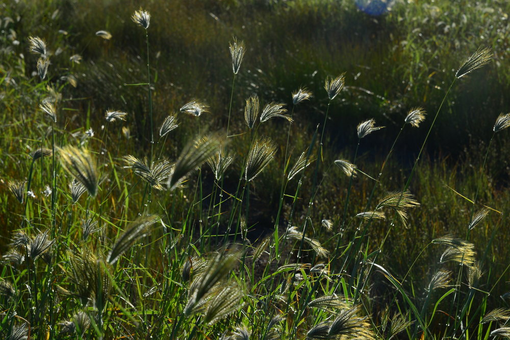 Grasses. Photo David Leece.JPG