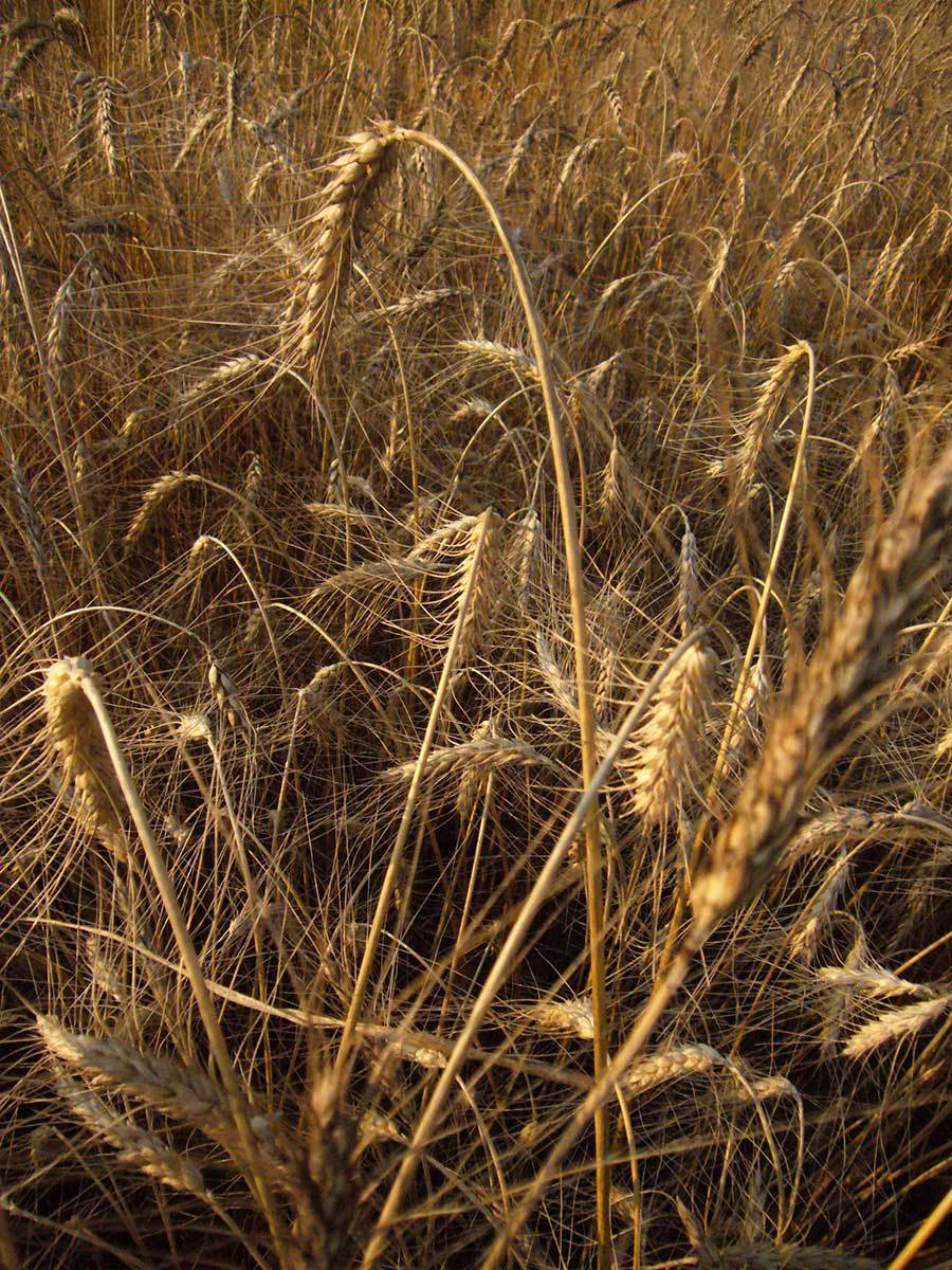 wheat-ready-to-drop.jpg