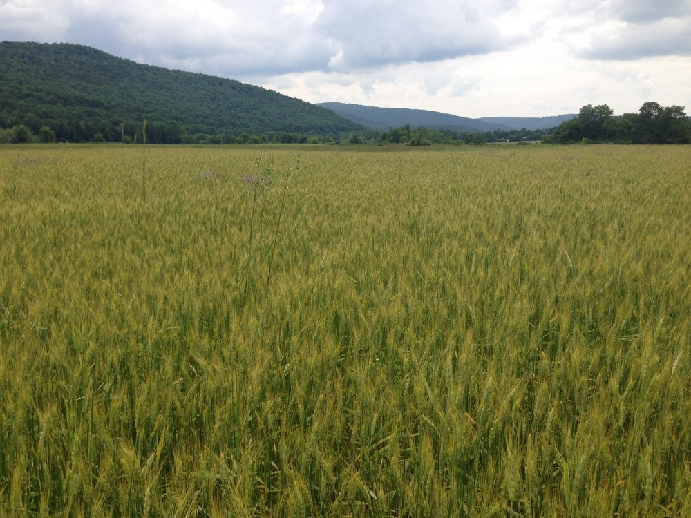 catskill wheat may copy.JPG