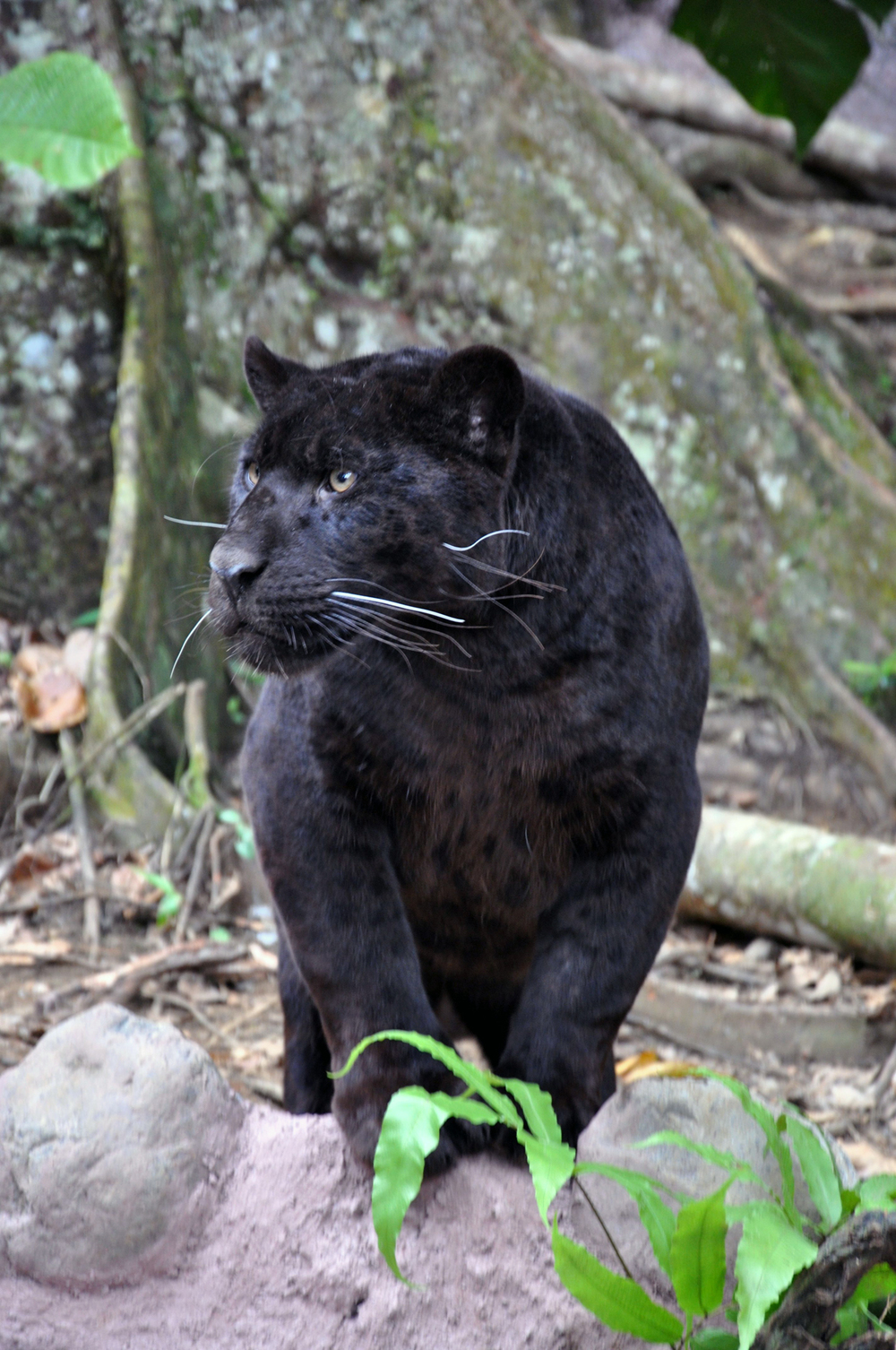 30-0-Jaguar-Noir.jpg