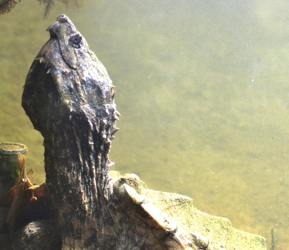 34-tortue-aligator.jpg
