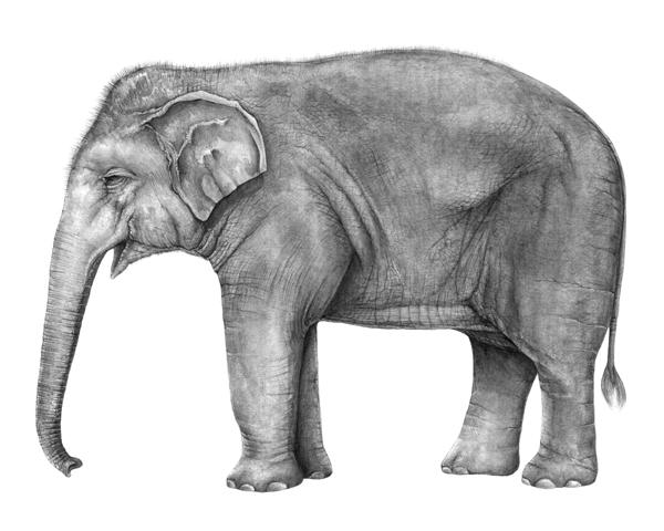 full_profile_elephant_lr.jpg?format=1000w
