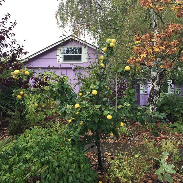 Golden pears and lilac panels. #oregonianhomes