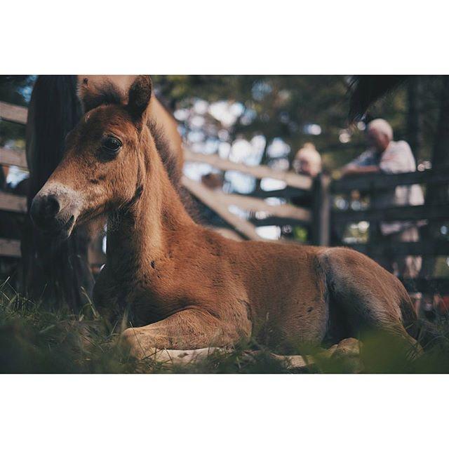 Ett kärt återbesök i Russparken på Lojsta Hed. Idag var det premiering och folkfest i parken. Kanske inte riktigt lika kul som när dom går i det vilda. Men helt okej ändå 🐴 #föl #häst #hästar #equestrian #heste #pferd #russparken #russ #gotlandsruss #horse #horses #lojstahed #gotland #fujifilm #fuji #xt10 #cute #animal #hug