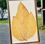 Tobacco Leaf art.jpg