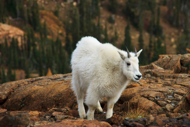 Adorable mountain goat with a fresh warm coat for winter