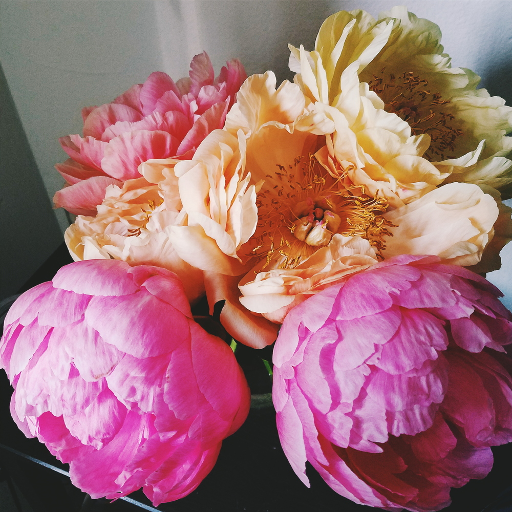 The same peonies I photographed last week - isn't it astonishing how much they changed in color?