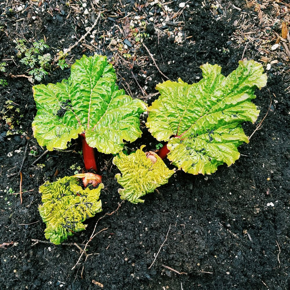 Favorite signs of spring #1: Rhubarb sprouting in my parents backyard
