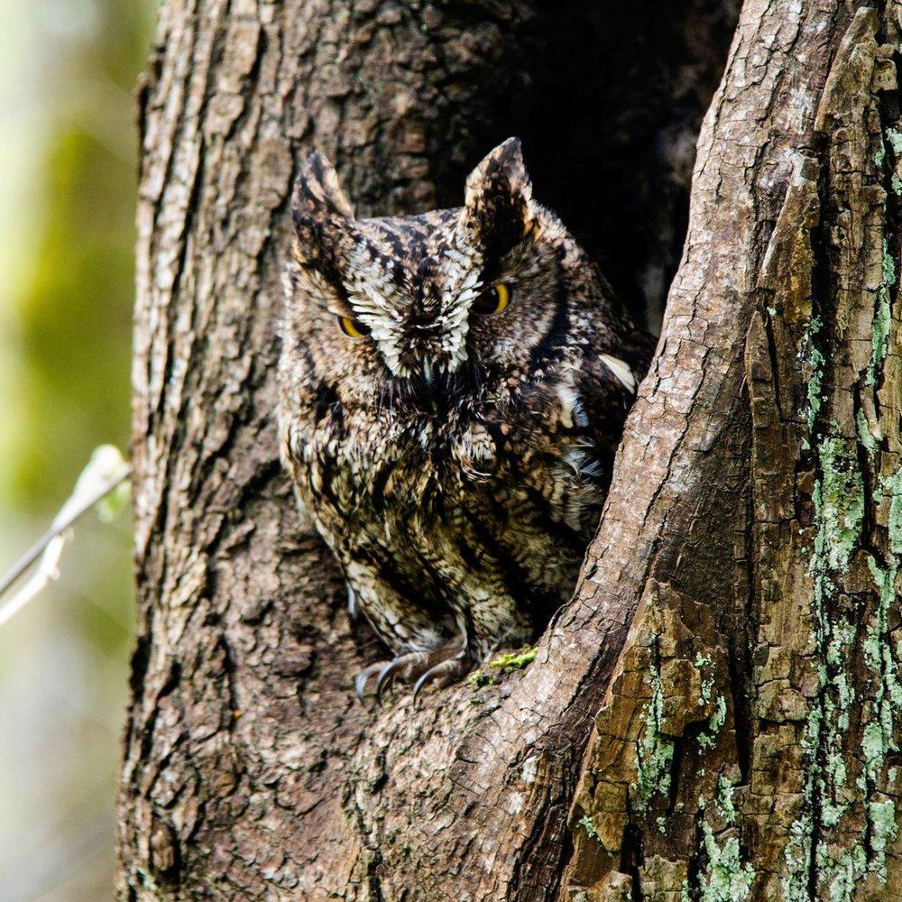 A cute little screech owl I met on the Powerline Trail
