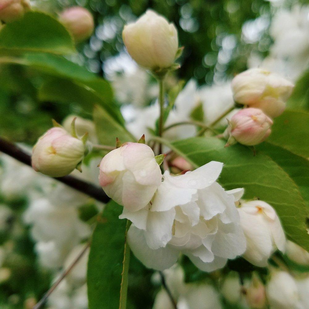 Apple blossoms forever <3