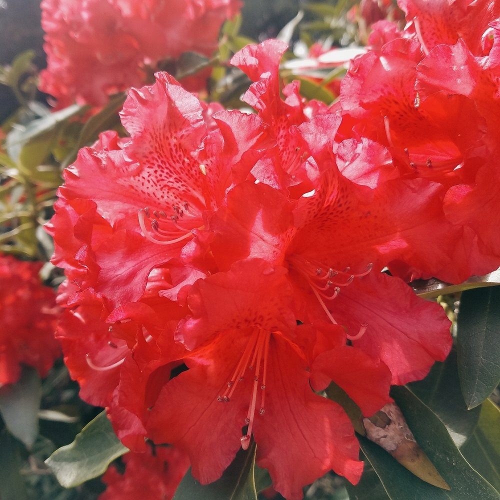 My camera can't quite handle the vibrant red of these rhodedendrons