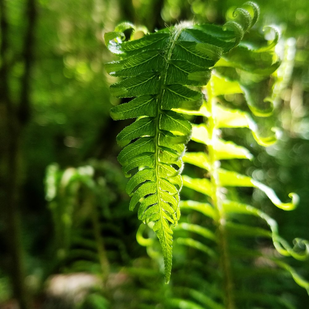 Grassy green ferns unfurling