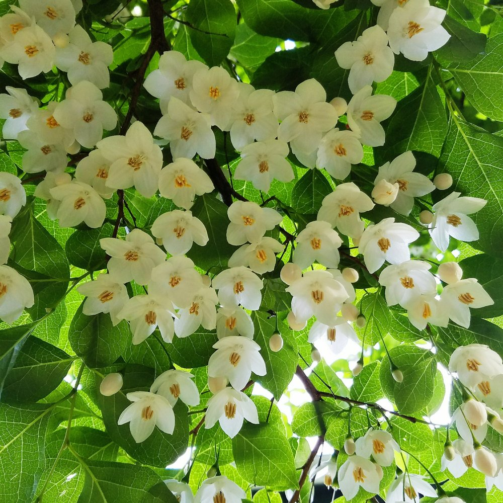 My parents have this beautiful Japanese Snowbell in their backyard, which I do not remember at all from my childhood!