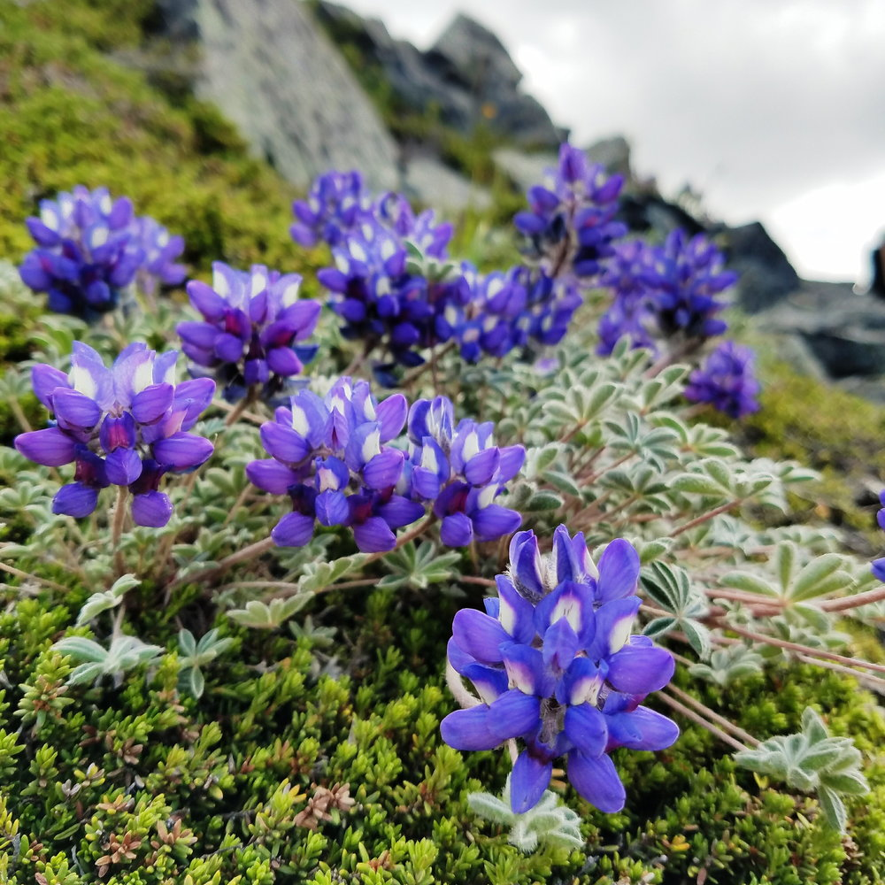 Dwarf lupine - it smelled so lovely!