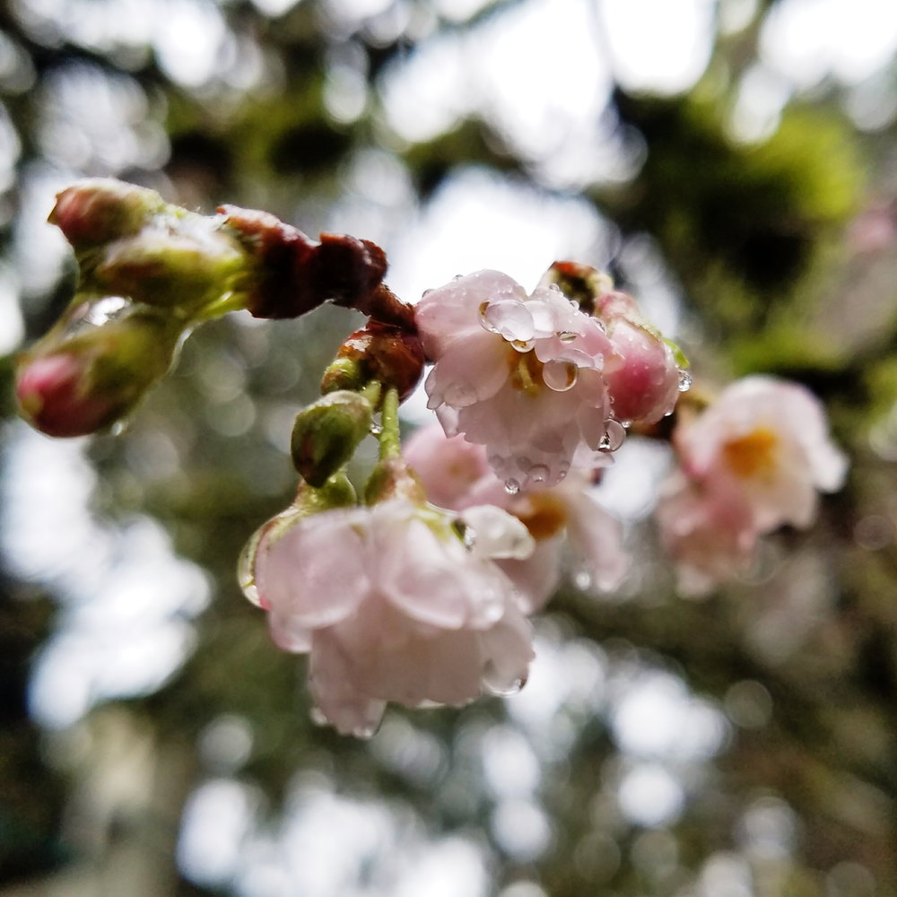 A little early for cherry blossoms...